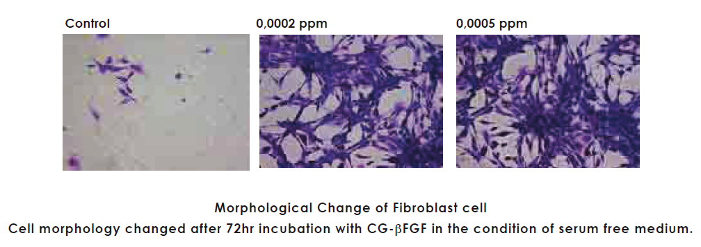 CG-βFGF GROWTH FACTOR